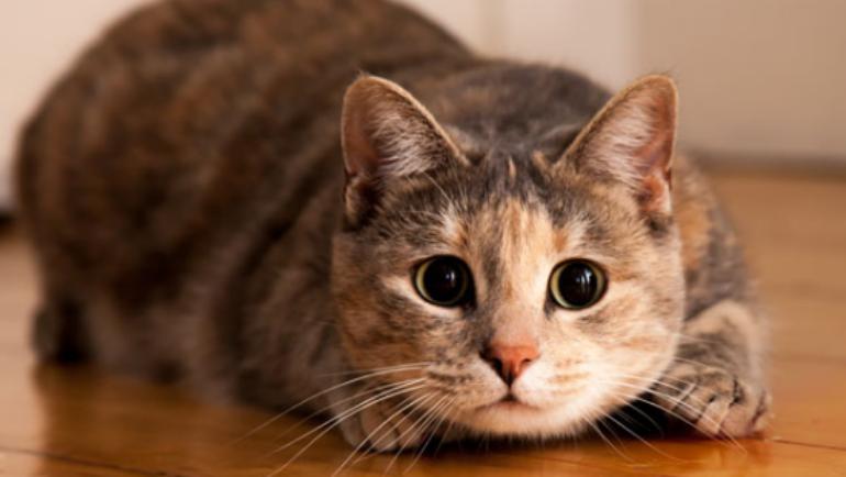 Il calore nella gatta femmina: come funziona?